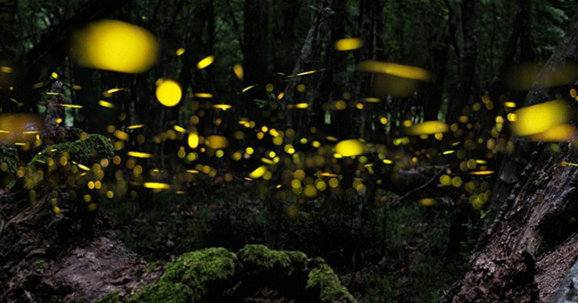 Thousands of fireflies create glowing lights, sparkling up the Mangrove trees a Christmas tree.