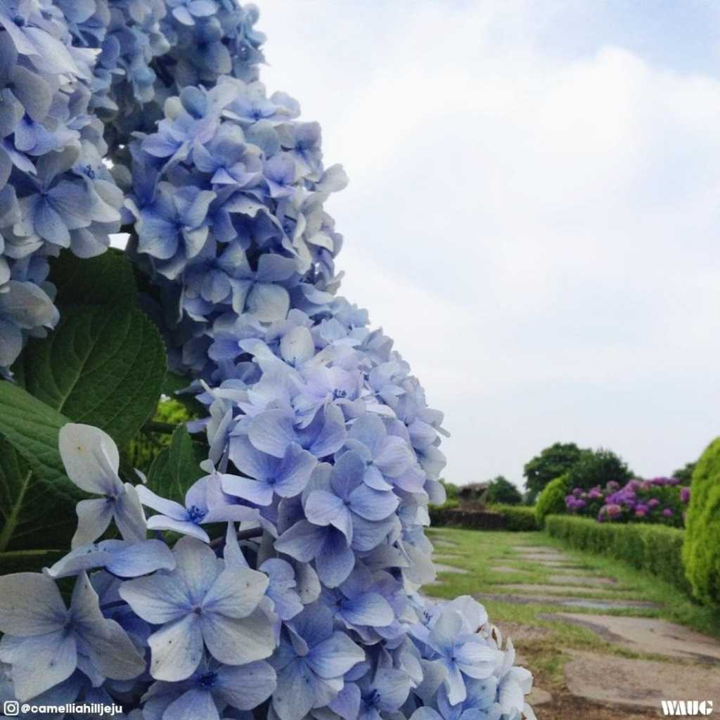 camellia-hill-jeju-summer