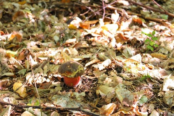 Cueillette de champignons et feuilles mortes dans la forêt