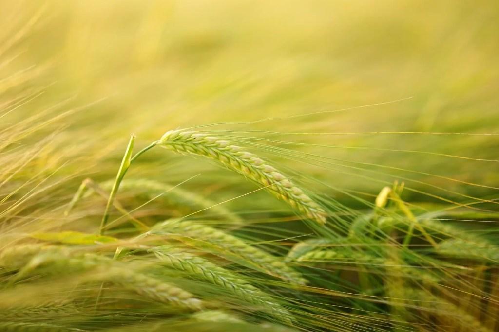 barley to make flour