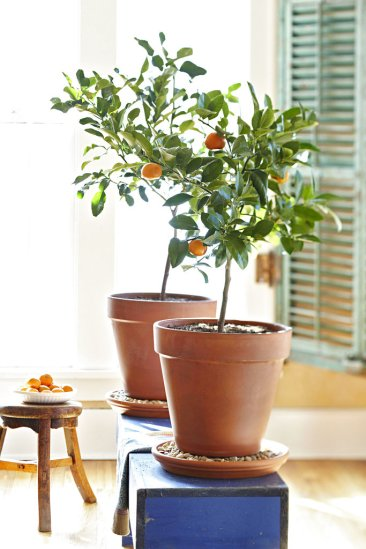 Growing citrus indoors takes patience, pays off handsomely