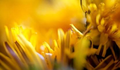 Löwenzahnblüten für Löwenzahnhonig