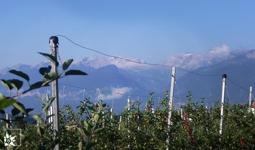Apfelplantage in Südtirol