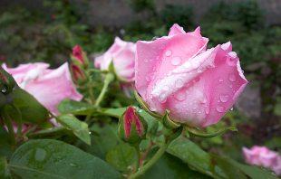 Rose - Gärten von Schloss Trauttmansdorff