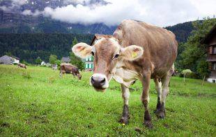 Kuh Bizau - Umgang Bregenzerwald