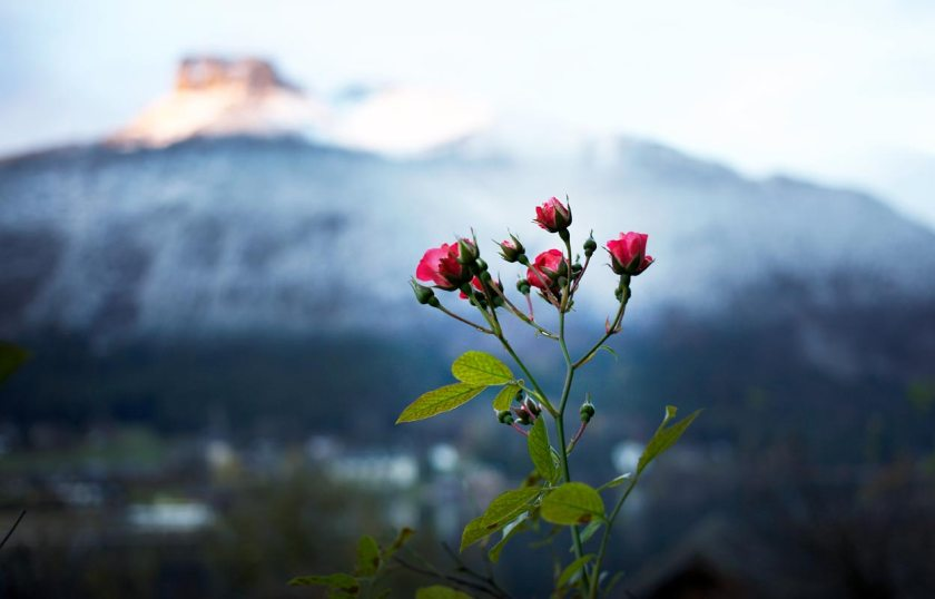 Rose am Altaussee
