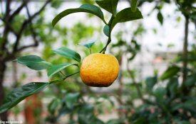 Bio-Orange Zitrusgarten – Faak am See
