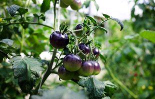 Tomaten Gärtnerei Lakonig