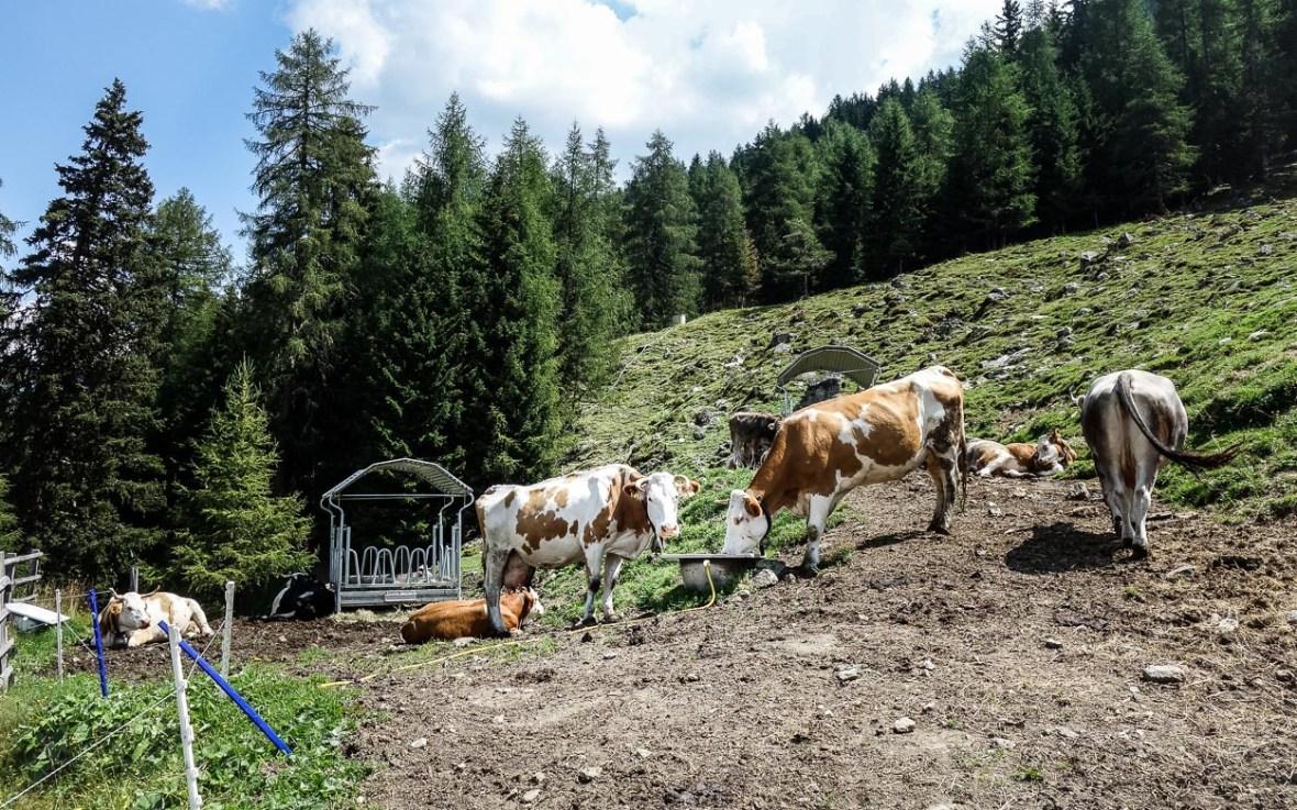 Vieh auf der Autenalm Stubai
