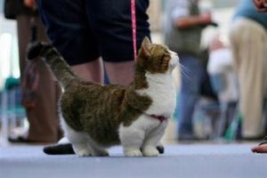 The Munchkin Rug Hugger, the world's cutest cat