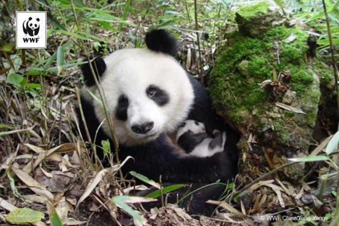 panda with logo