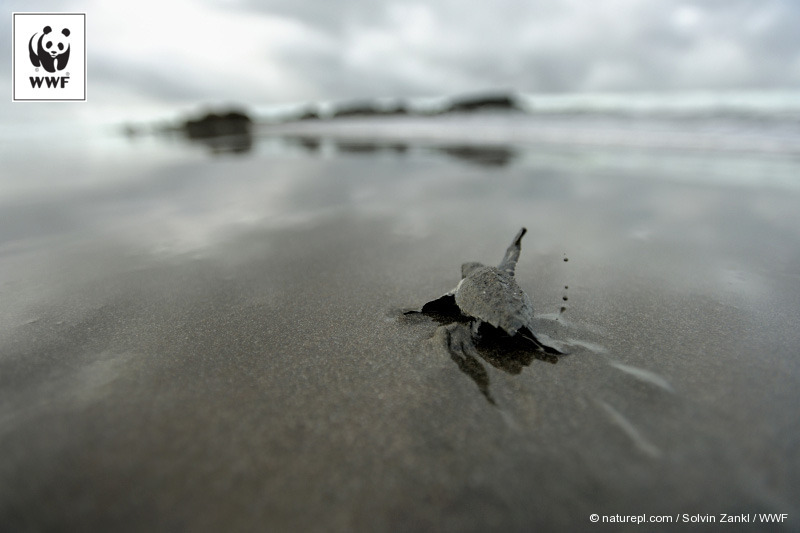 An Olive Ridley sea turtle hatchling on its way to the sea. Determined to cross the ocean like its ancestors?