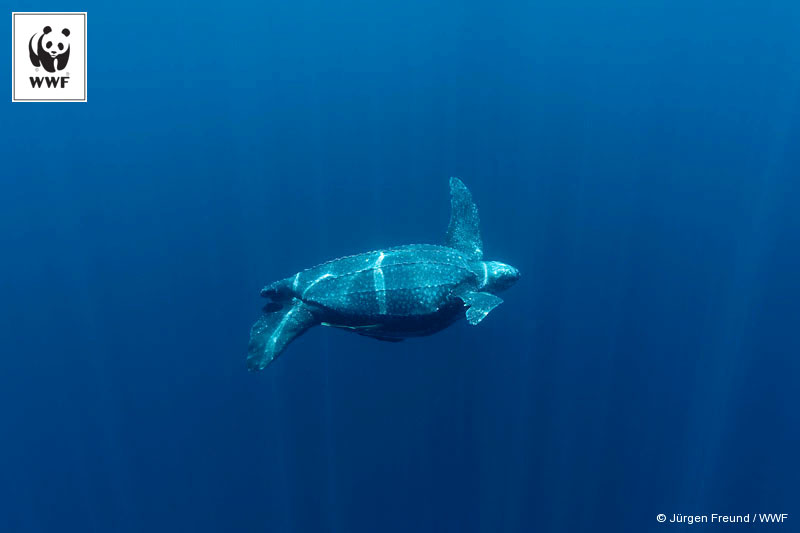 Leatherback turtle underwater. Kei Islands, Moluccas, Indonesia.