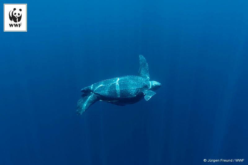 Leatherback turtle underwater. Kei Islands, Moluccas, Indonesia.