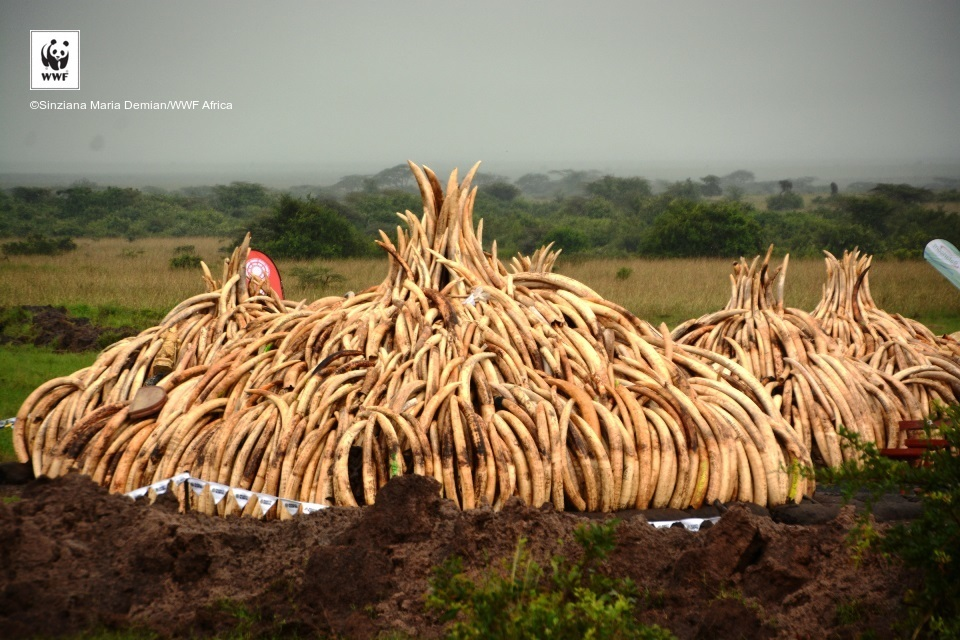 One of 12 pyres, largest ivory burn in history, Kenya.