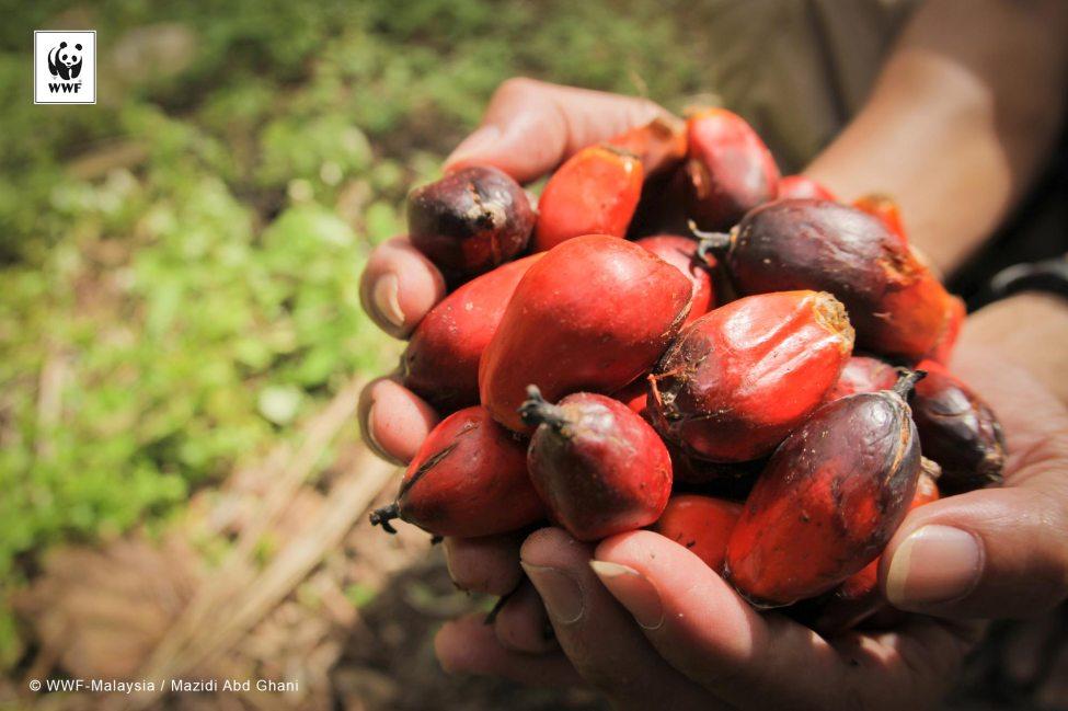 Mature palm oil fruit