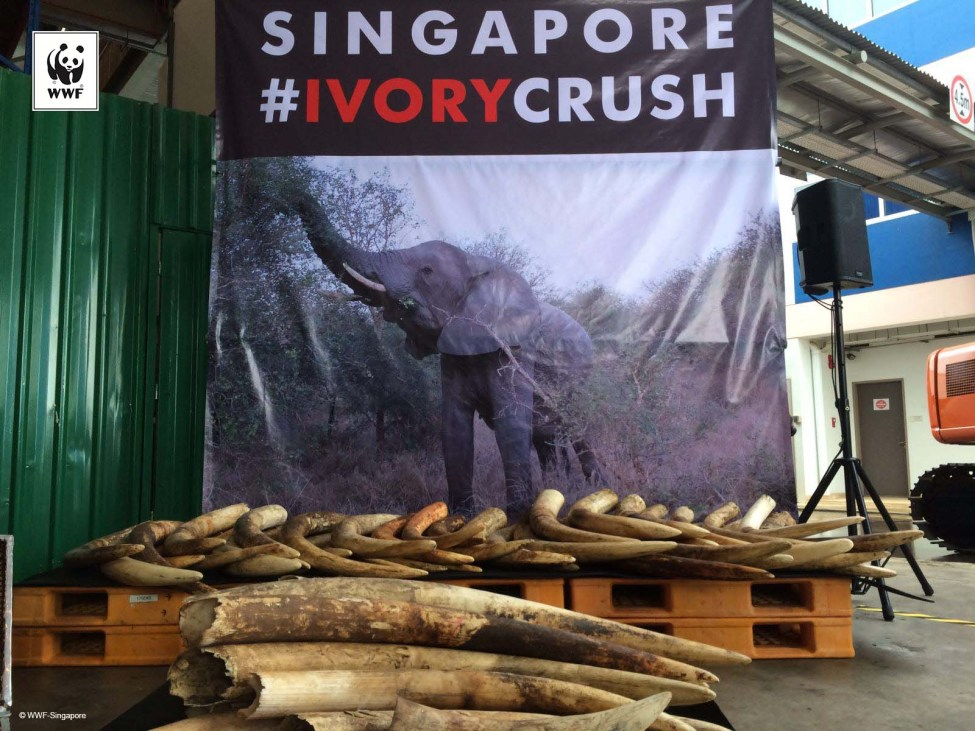 Ivory Crush in Singapore in June 2016