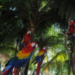 Scarlet Macaw Flies Free in Mexico