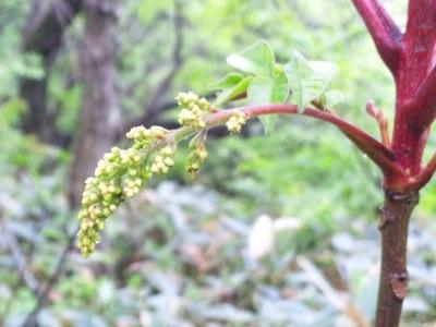 ウルシの花140501 100701