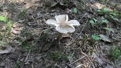 花が咲いたような白キノコ