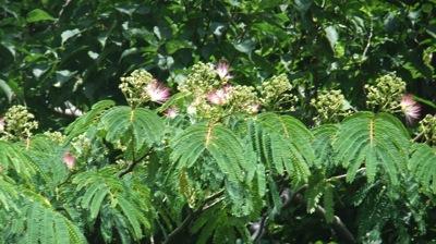 花が咲き始めたニセアカシア