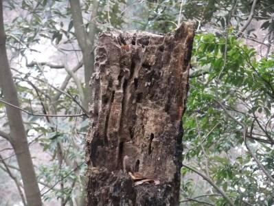 枯木のカミキリ巣跡