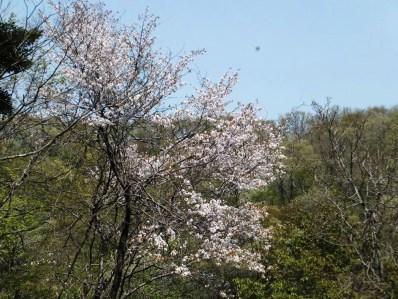 5咲き誇る山桜