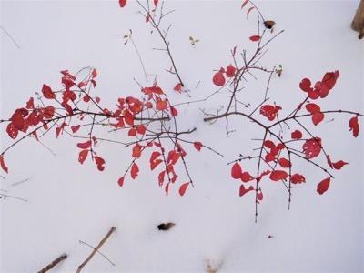 10雪紅葉