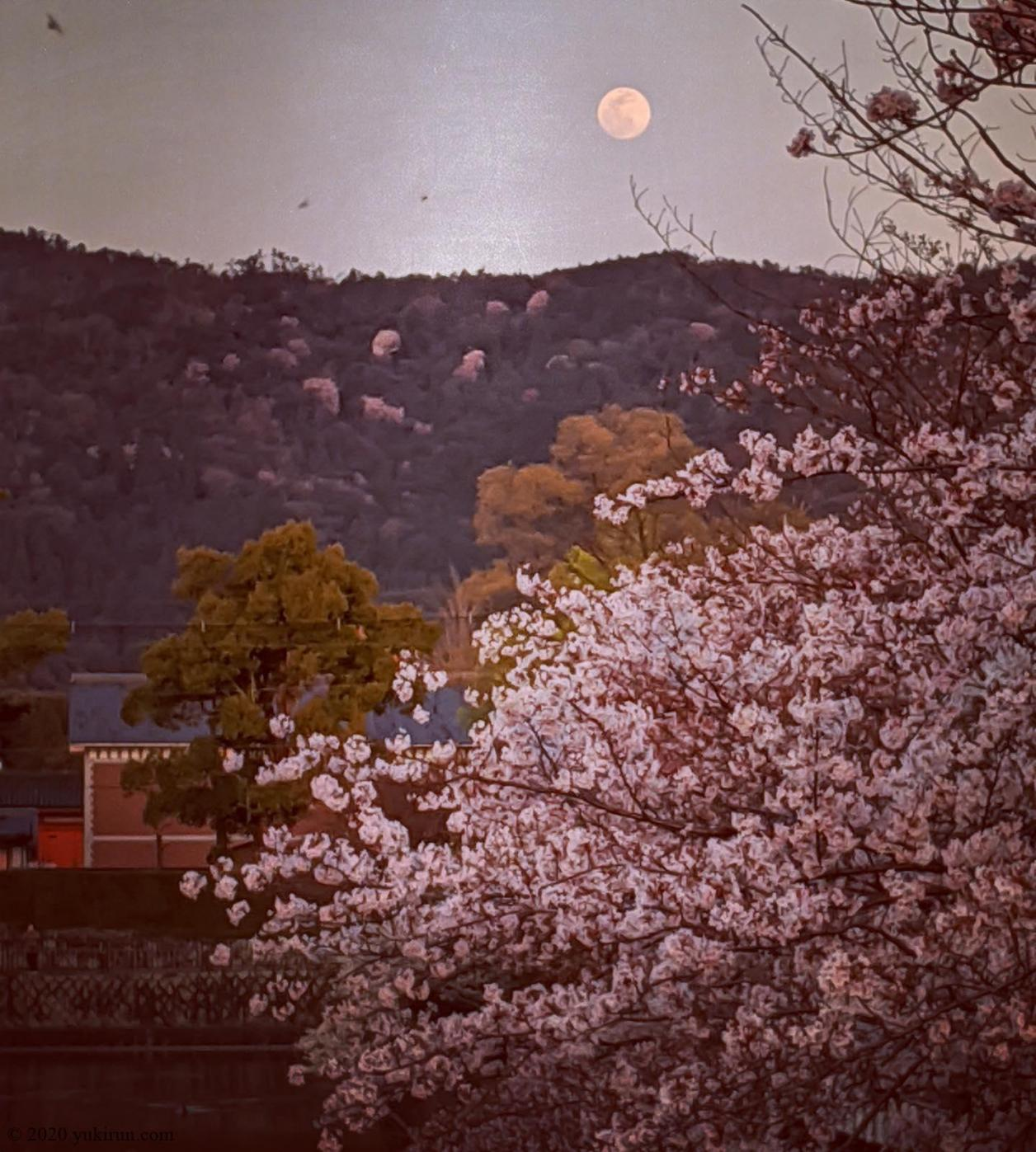 #fullmoon and #sakura ... so #beautiful ! #kyoto #japan #cherryblossom #pixel3
