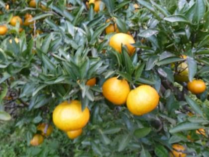 黄色く色づいた温州ミカン