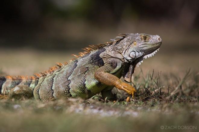 Islamorada-Florida-Keys-Iguana