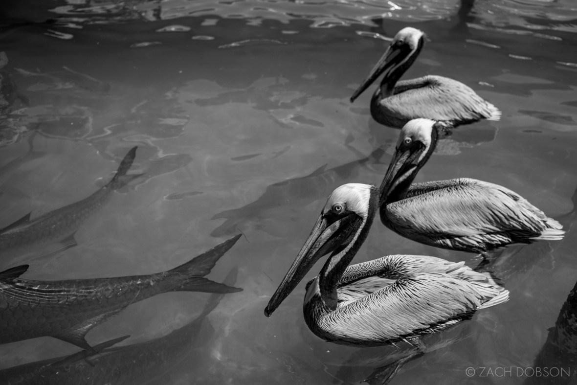 Islamorada-Florida-Keys-Seagulls-Tarpon