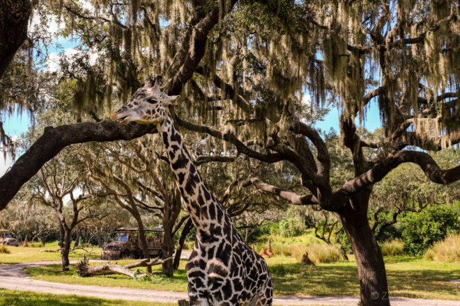 disney-world-animal-kingdom giraffes
