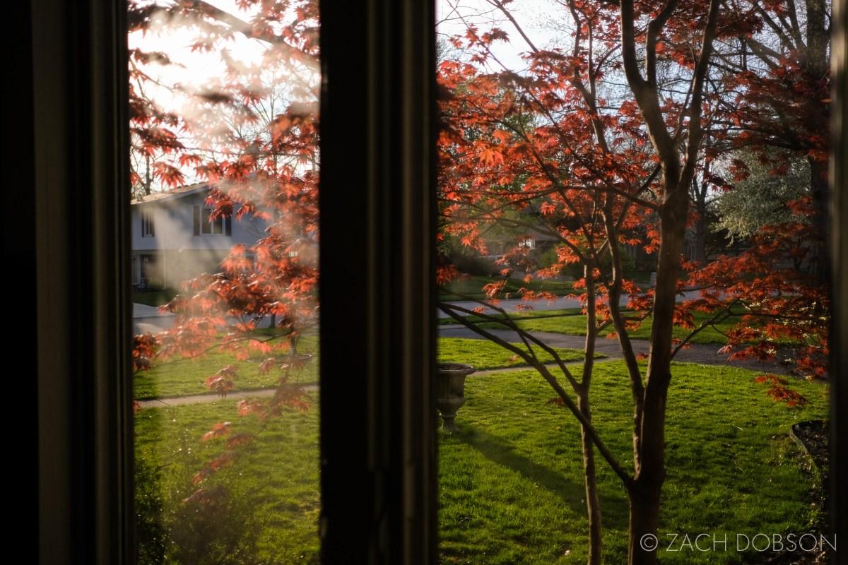 golden hour light through japanese maple tree