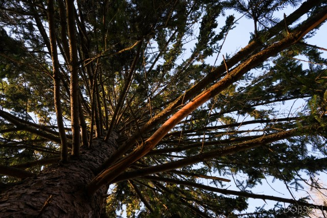 looking straight up into a pine tree with blue sky