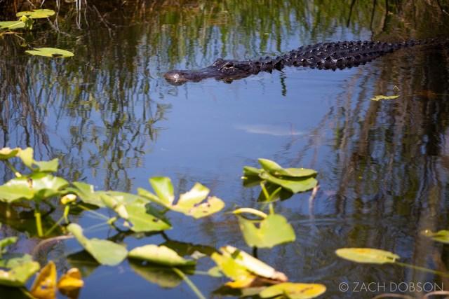 anhinga trail everglades national park alligator
