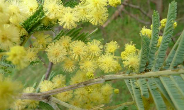 Fun Ways to Celebrate Wattle Day