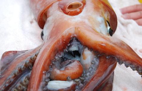 Squid beak