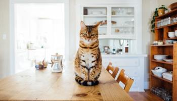 cat sitting on the dining table