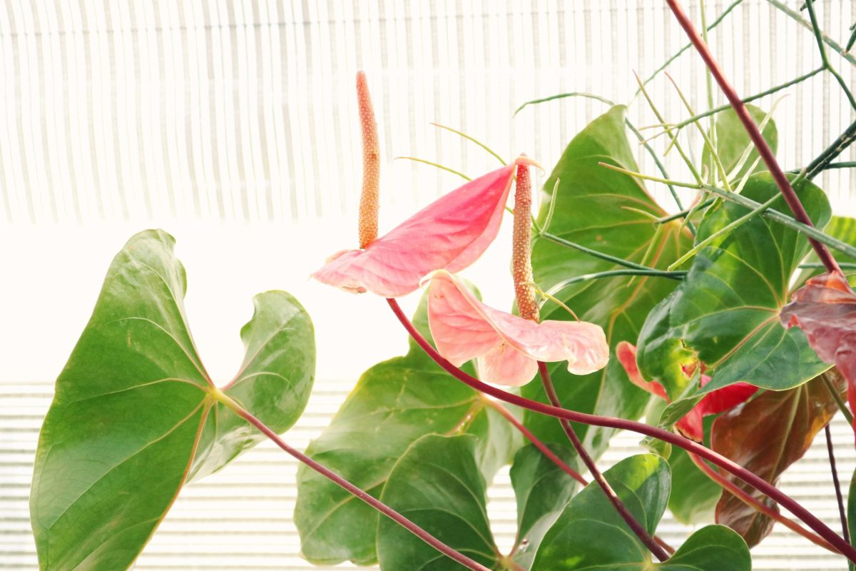 common houseplants- Anthuriums against white background