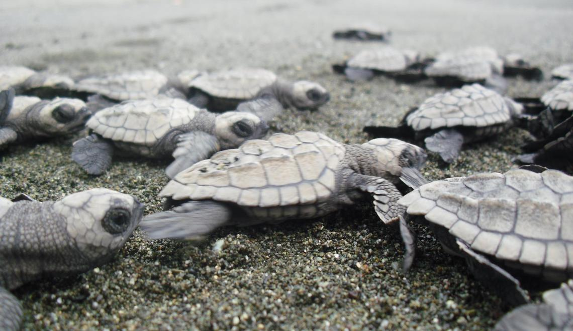 COTORCO: Conserving Sea Turtles In Costa Rica