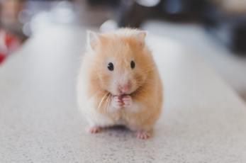 Texte collectif (3/4) le hamster