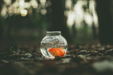 Micro-fiction - poisson rouge