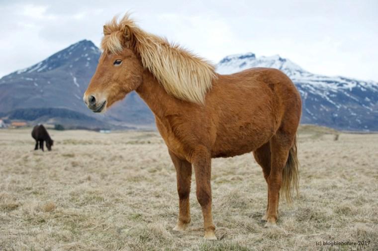 Petit cheval islandais.