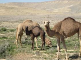 Kamelfamilie