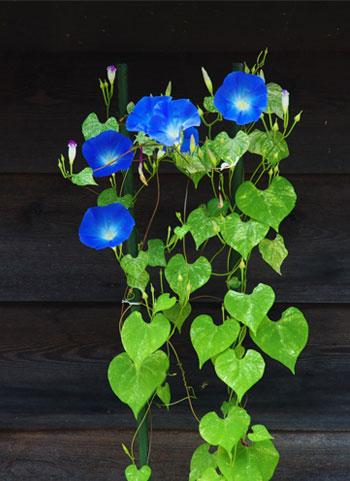 عکس گل پیچک