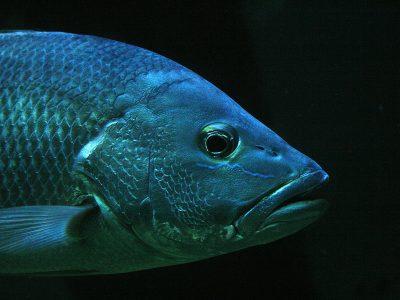 closeup photo of gray pet fish