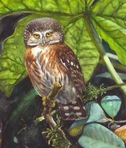 glaucidium_mooreorum