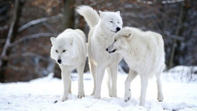 Lobos - Foto Lisi Niesner - Reuters