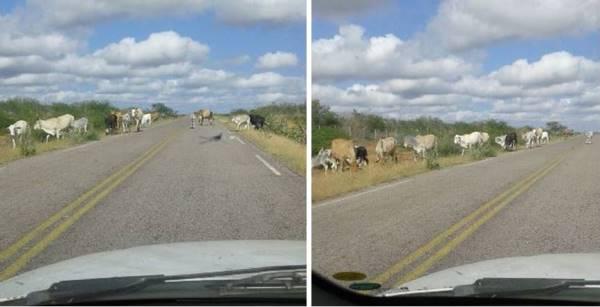 Animais transitam livremente pela RN 023(Foto: Francisco Nobre)